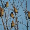 Kviečiame dalyvauti žiemojančių vandens paukščių apskaitose