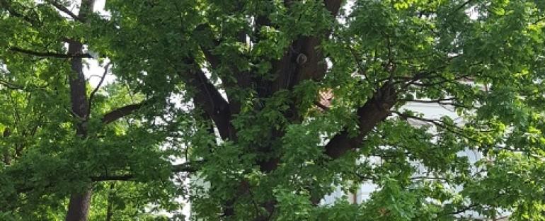 """Pažintinė išvyka """"Šiaulių miesto istoriniai ir atminimo medžiai"""" , 2016.06.06"""