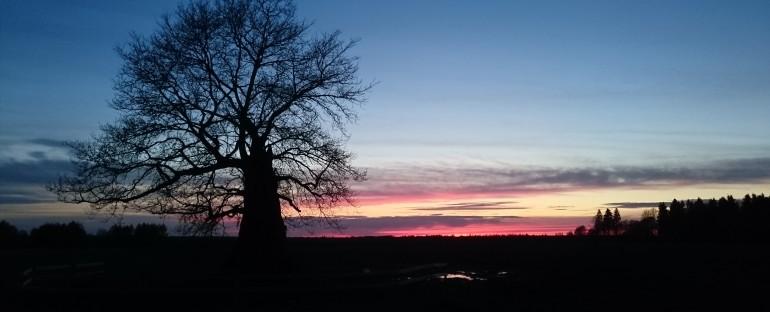 Kybarčių ąžuolas – antras amžiūmi Lietuvoje